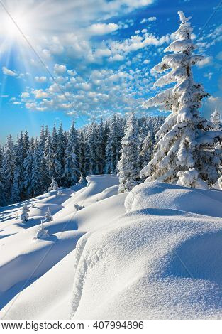 Morning Winter Calm Mountain Landscape With Beautiful Fir Trees  On Slope (carpathian Mountains, Ukr