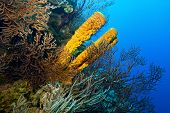 Yellow tube sponge nestle amongst corals and gorgonians over a vertiginous drop on the wall in Belizean waters. poster