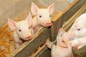 Flap eared loppy piglets in pen at farm poster