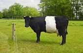 Belted Galloway Cow with distinctive white stripe standing in a green field on a sunny day poster