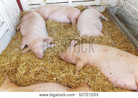 Dead pigs in parlor at animal farm poster
