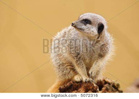 Meerkat Looking To Side