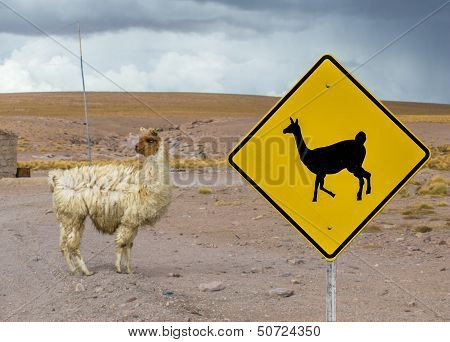 poster of Cute Lama crossing traffic sign Altiplano Bolivia