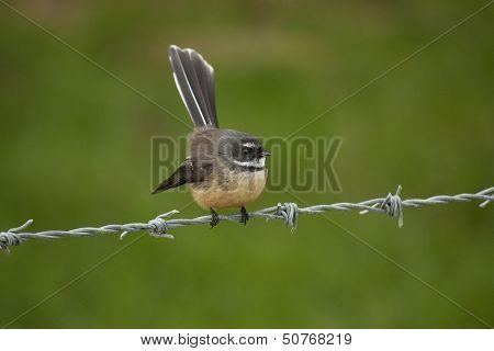 Fantail Bird