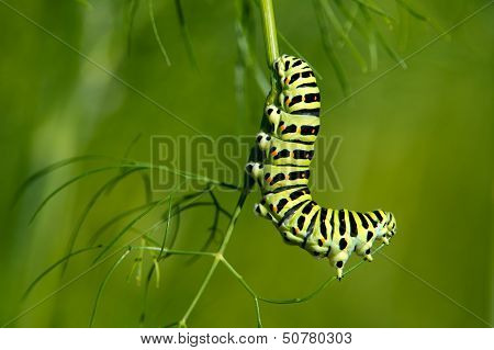 The Swallowtail Caterpillar  (Papilio Machaon)