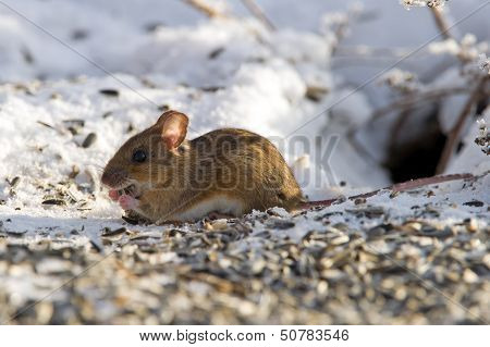 Mouse (Mus Musculus) Eating Seeds