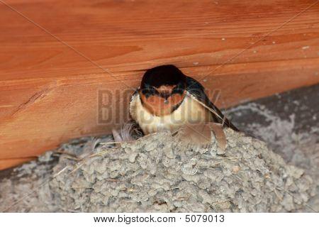 Barn Swallow On Nest