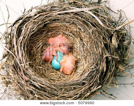 Three newborn robins in their nest with one yet to be born within its egg. poster