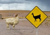 Cute Lama crossing traffic sign Altiplano Bolivia poster