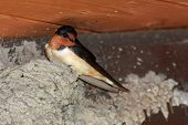 Barn swallow sitting on nest make of mud. poster