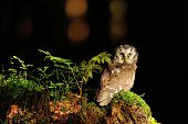 Boreal Owl standing on the moss in the wood poster