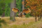 Flying Eurasian Eagle Owl in the autumn wood poster