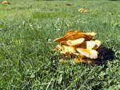 Toxic Omphalotus illudens Mushroom Clusters Commonly Known as The Jack-O-Lantern poster