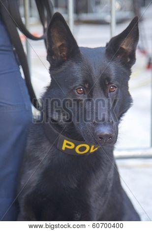 NYPD transit bureau K-9 German Shepherd providing security on Broadway during Super Bowl XLVIII week