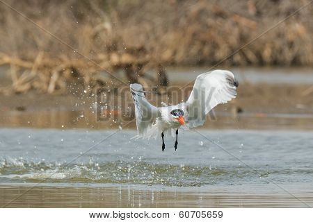 Caspian Tern In Flight After A Dive In The Mangroves