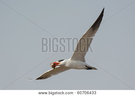Caspian Tern In Flight With Fish