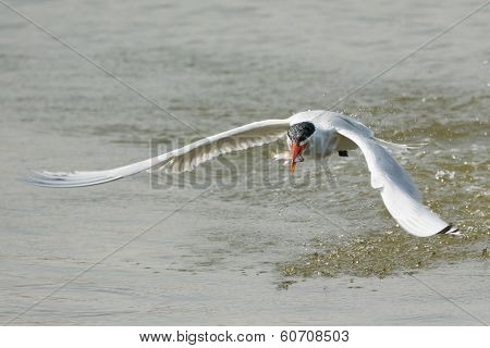 Caspian Tern Takes To The Air After A Successful Dive