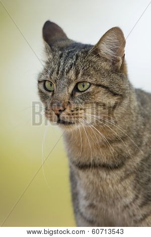 African Wild Cat (felis Silvestris Lybica) Portrait South Africa