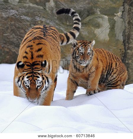 amur tiger with its young
