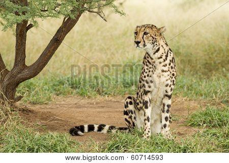 Female King Cheetah (acinonyx Jubatus) South Africa