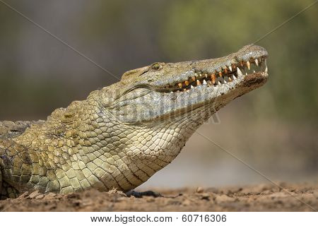 Nile Crocodile (crocodylus Niloticus) South Africa