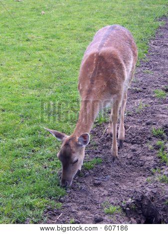 A Young Fallow Deer