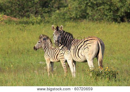 Zebra - Wildlife Background from Africa - Striped Love
