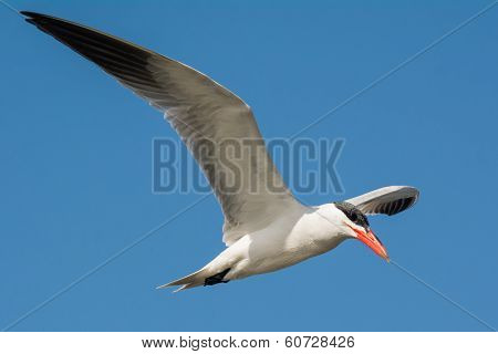 Caspian Tern Flying In A Blue Sky