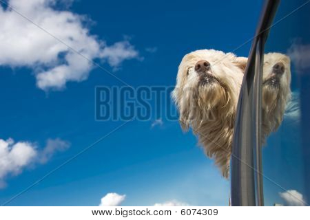 Romanian shepherd dog enjoying a ride with the car. poster