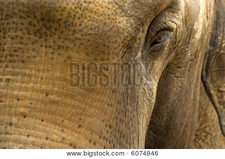 thick-skinned mammal giant elephant