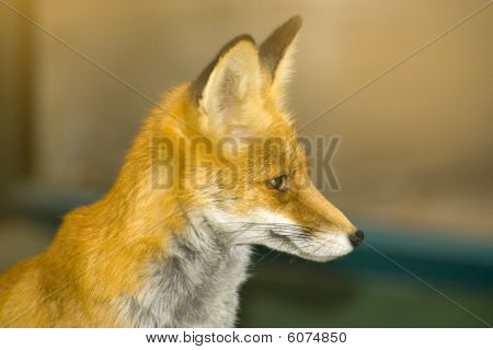 fox carnivorous mammal with reddish fur