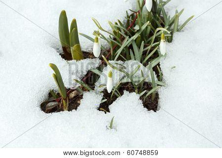 Snowdrop Bloom In Springtime Under Snow