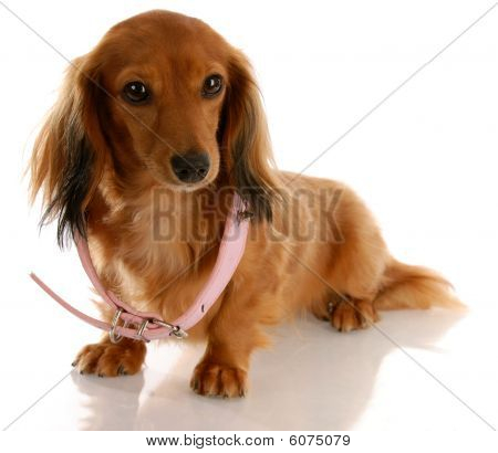 Dachshund With Too Big Collar