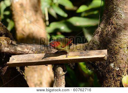 Spectacled Barwing (actinodura Ramsayi)