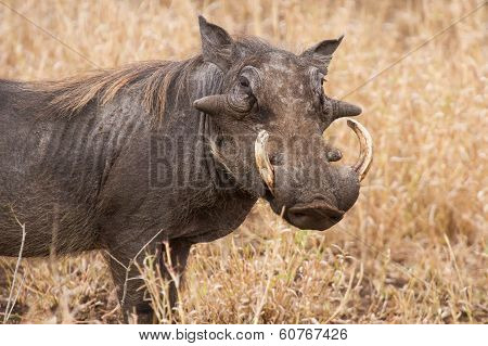 Old Warthog Standing In Dry Grass Looking For Something Green