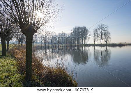 Pollard willows along the shore of a lake