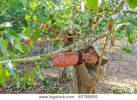 harvesting coffee berries