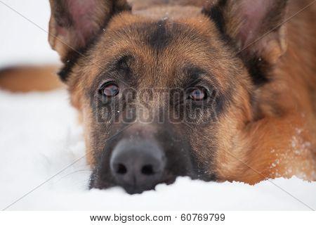 Chestnut Shepherd With Sad Snout
