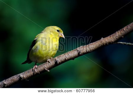 Female American Goldfinch Perched On A Branch