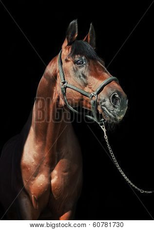 portrait of beautiful bay sportive stallion at black background poster
