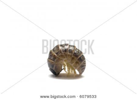 Pill Bug Profile