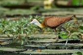 A young African Jacana (Actophilornis africanus) walking on lily pads poster