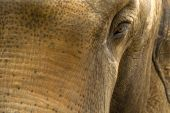 thick-skinned mammal giant elephant in the enclosure of zoo poster