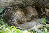 beautiful male Asiatic Brush-tailed Porcupine (Atherurus macrourus) as sleeping in cave poster