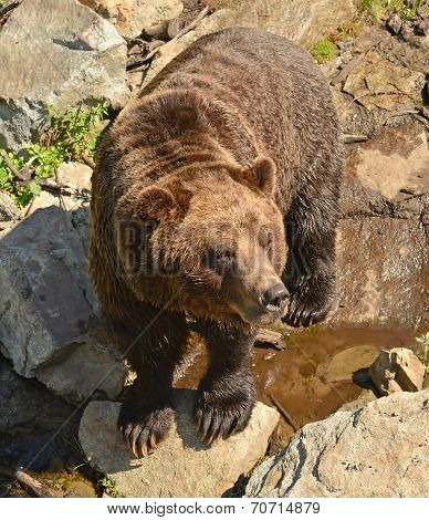 A Grizzly Bear at the Wildlife refuge at Grouse Mountain, Vancouver