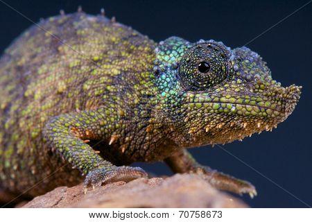 Spiny pygmy chameleon / Rhampholeon spinosus
