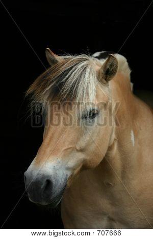 Fjord Horse On Black