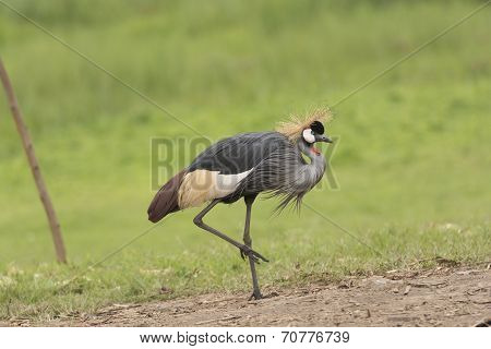 Grey-crowned Crane In The Wilds