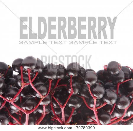 The Elderberry Sambuscus Nigra. The flowers and berries are used most often medicinally against flu and fever, angina, etc.
