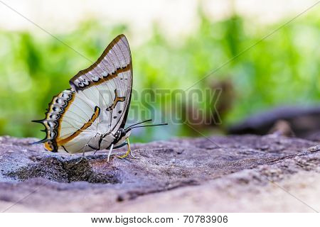The Great Nawab Butterfly